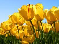 Plantation des bulble pour les fleurs du printemps